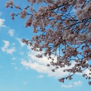 早くも桜が咲きました