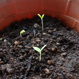 タチアオイの芽がまた出た~