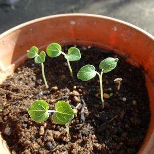 タチアオイを植えましたよ。
