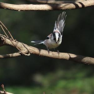 近場で鳥撮~お茶々がまた・・・