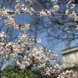 ちょっと早かった・・3分咲きの江波山公園桜散歩