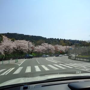 今が満開京都の桜