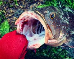 岡山のヒラメ釣り『50UPキジハタまたGET』