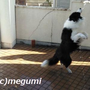 ムギ姉ちゃんのお仕事が忙しくて、何処へも行けないムギはお家で水遊びだv・。・V わん♪