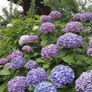 紫陽花&薔薇 プラリ散歩