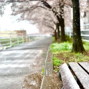 盆地の風景:甲府市貢川沿いの「芸術の小径」の3月の雪と桜の共演【2020年】