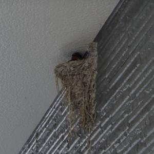 つばめの巣ができました①(R2.5.28)