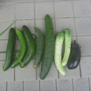 夏野菜の収穫が始まりました