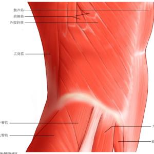 内腹斜筋の解剖と体幹における機能について