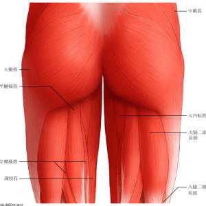 大殿筋の解剖と腰・骨盤に与える影響について