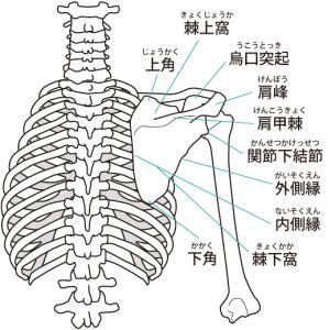 鎖骨・胸骨・肋骨・上腕骨・肩甲骨についての解剖と機能【肩関節】