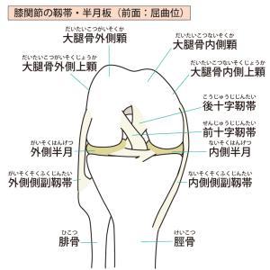 【一般向け】膝の半月板とは?~機能と構造~