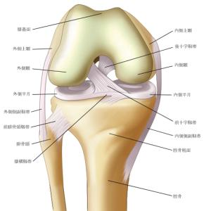 【一般向け】膝の靭帯について~膝は全方向から守られている~