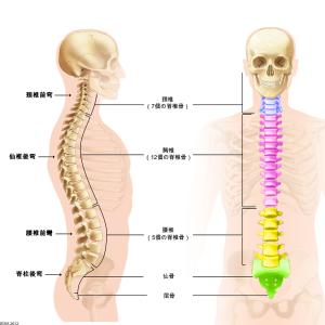 頸椎・胸椎・腰椎の解剖と機能を紹介!背骨のベストバランスの理由がここに!