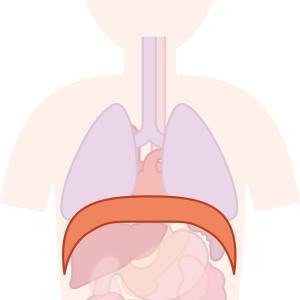 腰の強さと関係する横隔膜の解剖と機能について