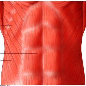 外腹斜筋の解剖と腰・骨盤での機能について紹介!