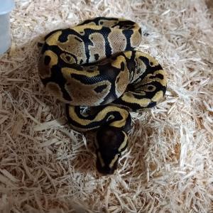 2019CB Ball python 販売リスト