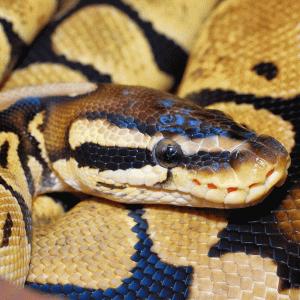 Ball pythonの基本的なこと。