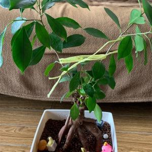 植物観察 『ガジュマル』