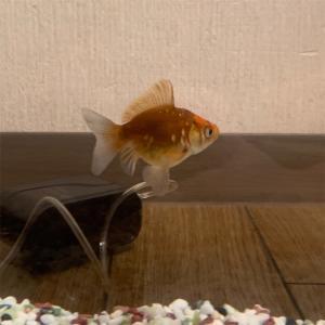 金魚!!?