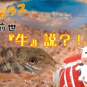 コリドラス 前世『牛』説?!!!