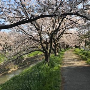 桜とメバリングと