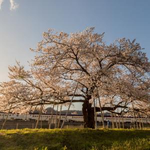夕陽に照らされる桜と