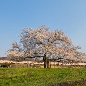 朝陽に照らされる桜と
