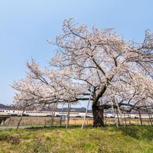昼の陽に照らされる桜と