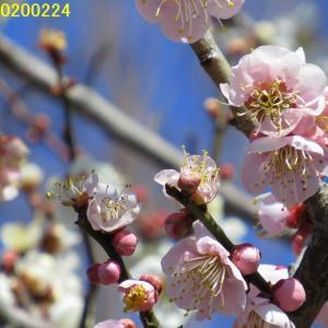 五條市の梅林散策(賀名生梅林と一ノ木ダム)20200224