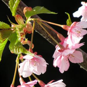 近くの公園に早咲き桜で3本ほど咲いてました 20200311
