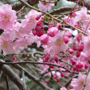 桃と桜 20200331
