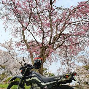 大阪府富田林市の滝谷公園の桜 20200403