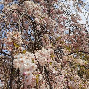 枝垂桜 20200411