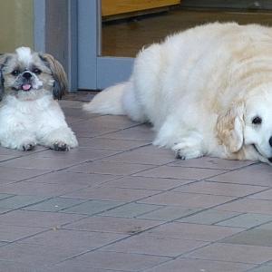 シーズー犬とゴールデン 2013年