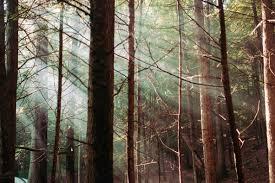 北欧の樅の木の暗い森の中で迷子になる