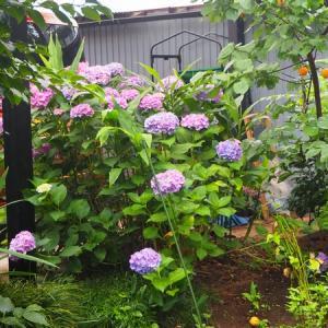 雨の庭  また、アジサイですが & アンズ