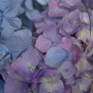 般若寺の初夏コスモスと紫陽花