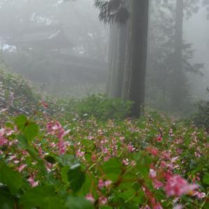 岩湧寺の秋海棠