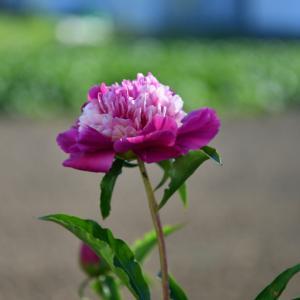 芍薬 紫蘭