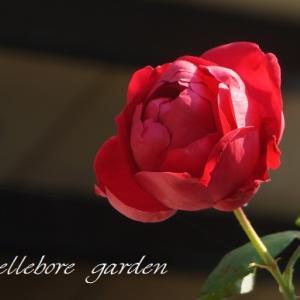 際立つ赤いバラ。いろんな秋バラ達。