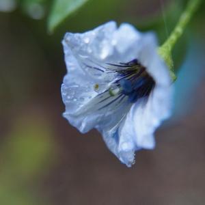 寒そうに咲くノナラ の花