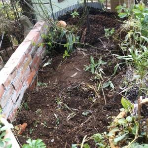 庭のかさ上げ・・クリスマスローズを植え込む。