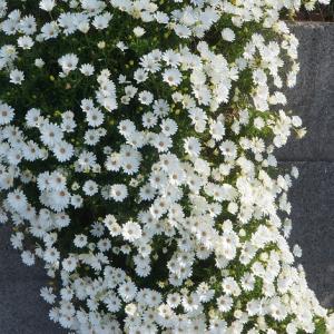 我が家の庭から、オステオスペルマム 岸辺に咲く。 動画。