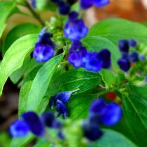 きれいな青 スクテリア   庭の花。