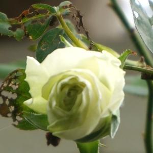 ラナンキュラス。ラックスの新芽とバラ