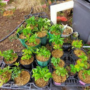 クリスマスローズ今日は20鉢植え替え