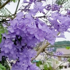 風にそよぐ、ジャガタの花が美しく~