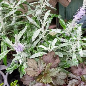 美しいシルバ―の葉  ベロニカ インカナ・シルバーシー