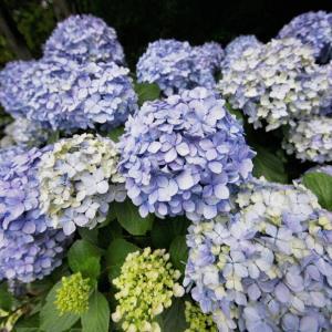 住吉自然公園の紫陽花